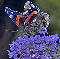 Picture Title - Red Admiral