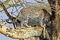 Picture Title - Leopard eating Gazelle