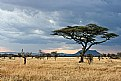 Picture Title - Serengeti Evening with Acacia Tree