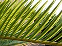 Picture Title - Palm Leaf
