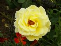 Picture Title - Yellow Rose