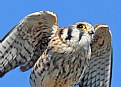 Picture Title - Kestrel Close-Up