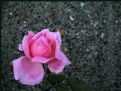Picture Title - Concrete Rose