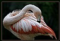 Picture Title - Flamingo Dancing