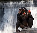 Picture Title - Chimp VS Killer Red Tomatoes