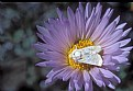 Picture Title - Mojave Aster & Moth