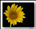 Picture Title - Florida Sunflower