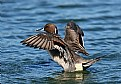 Picture Title - Northern Pintail