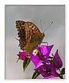 Picture Title - Kelebek ve Begonvil