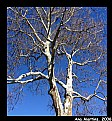 Picture Title - Sycamore tree against the sky
