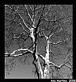 Picture Title - Sycamore tree in B&W