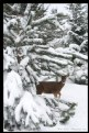 Picture Title - Snow Deer