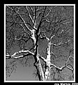 Picture Title - Sycamore tree - a different frame