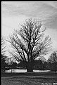 Picture Title - Maple Tree