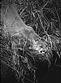Picture Title - Cougar at Stream