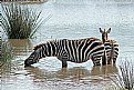 Picture Title - Zebras Drinking
