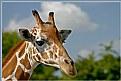Picture Title - Shy Giraffe