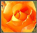 Picture Title - Whisky  Rose