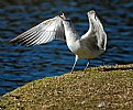 Picture Title - Gull Howling