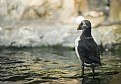 Picture Title - Puffin