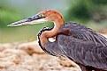 Picture Title - Goliath Heron