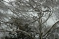 Picture Title - eucalyptus pauciflora