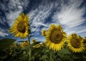 Sunflower Field No. 3
