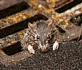 Picture Title - Rats' Life