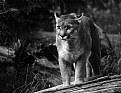 Picture Title - Cougar on Log
