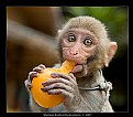 Picture Title - Baby Monkey eating