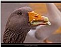 Goose Grubbing