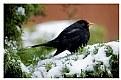 Picture Title - Blackbird