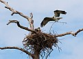 Picture Title - Osprey Nest