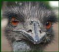 Picture Title - Emu