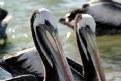 Picture Title - Pelicanos