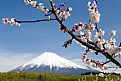 Picture Title - Mount Fuji with Plum Blossoms