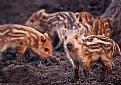 Picture Title - Small boars