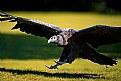 Picture Title - Condor