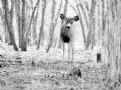 Picture Title - a deer in the woods