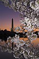 Picture Title - Cherry Blossom Sunrise, Washington DC, USA