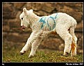 Picture Title - Dancing Lamb