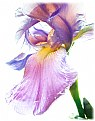 Picture Title - iris