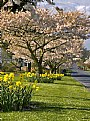 Picture Title - Blooming Trees