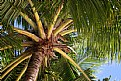 Picture Title - Coconut palm