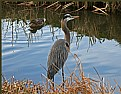 Picture Title - Heron