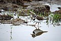 Picture Title - Threebanded Plover