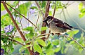 Picture Title - Sparrow