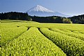 Picture Title - Green Tea Fields