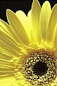 Picture Title - Yellow Gerbera