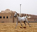 Picture Title - Arabic Horse